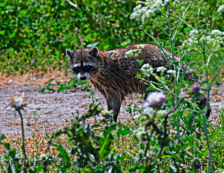 Procyon lotor Northern raccoon 2021 05-05 Gray Lodge--018