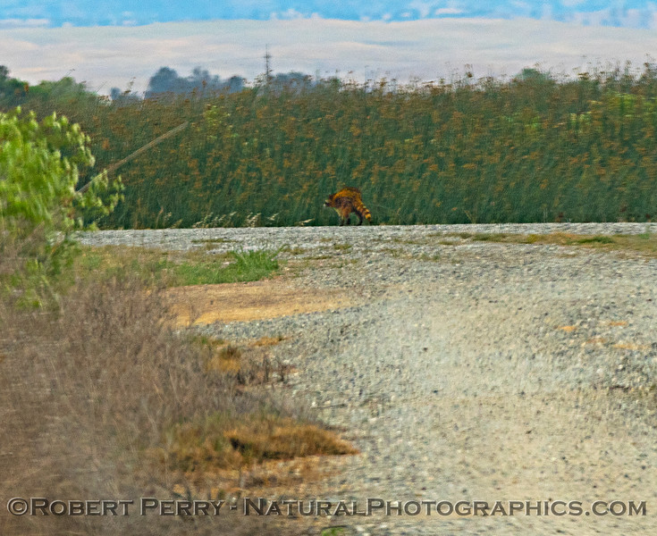 Red racoon - distant photo through windshield.