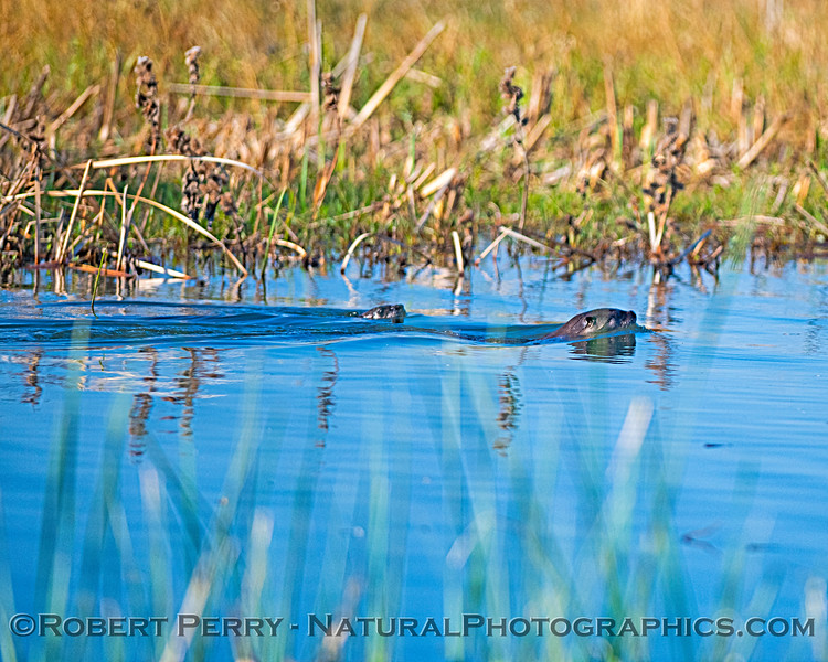 Lontra canadensis River otters 2019 11-15 Yolo ByPass--029