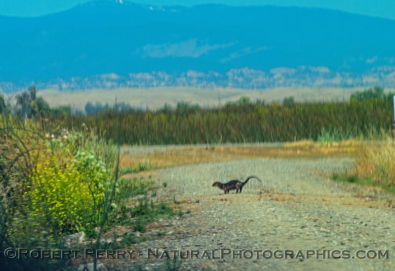 Lontra canadensis river otters 2017 05-20 Sacramento NWR - 013