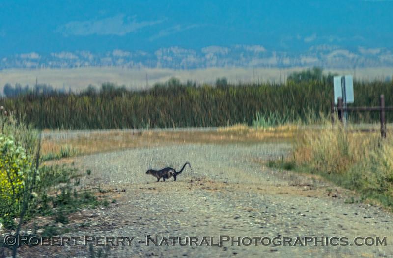 Lontra canadensis river otters 2017 05-20 Sacramento NWR - 010