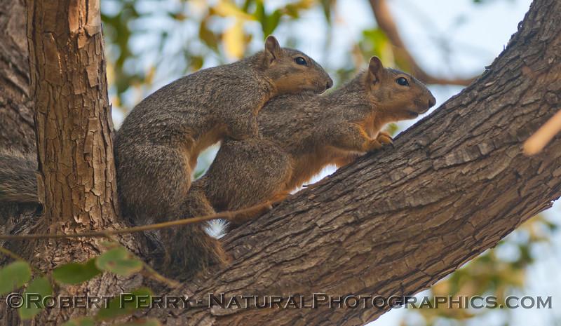 Sciurus mating squirrels 2012 03-11 Camarillo-009