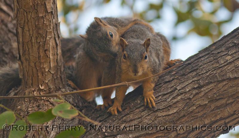 Sciurus mating squirrels 2012 03-11 Camarillo-006