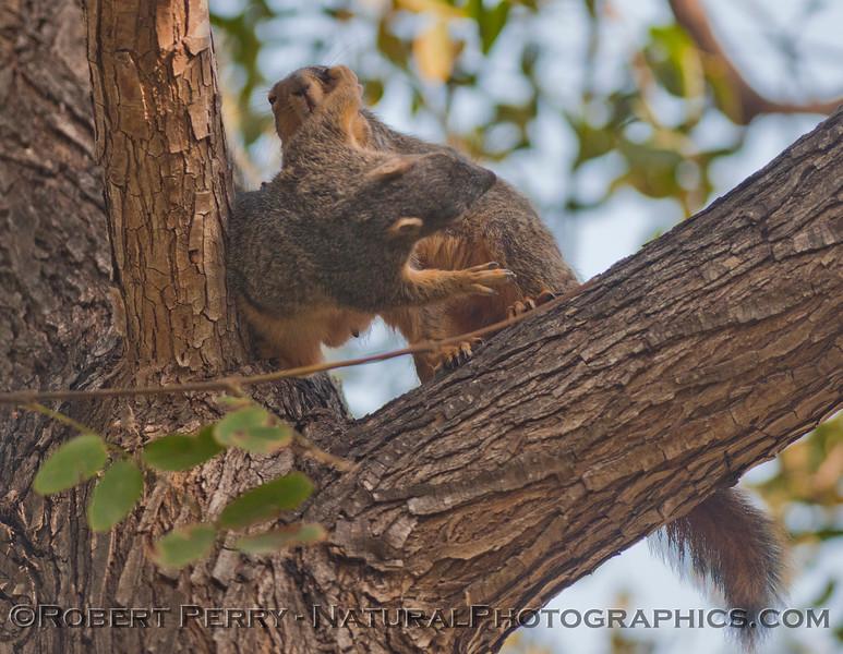 Sciurus mating squirrels 2012 03-11 Camarillo-010