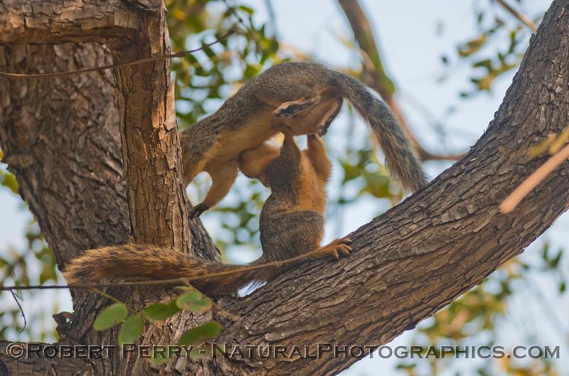 Sciurus mating squirrels 2012 03-11 Camarillo-012