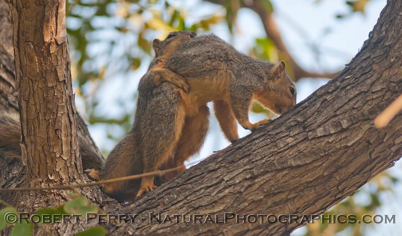 Sciurus mating squirrels 2012 03-11 Camarillo-008