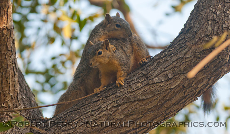 Sciurus mating squirrels 2012 03-11 Camarillo-004