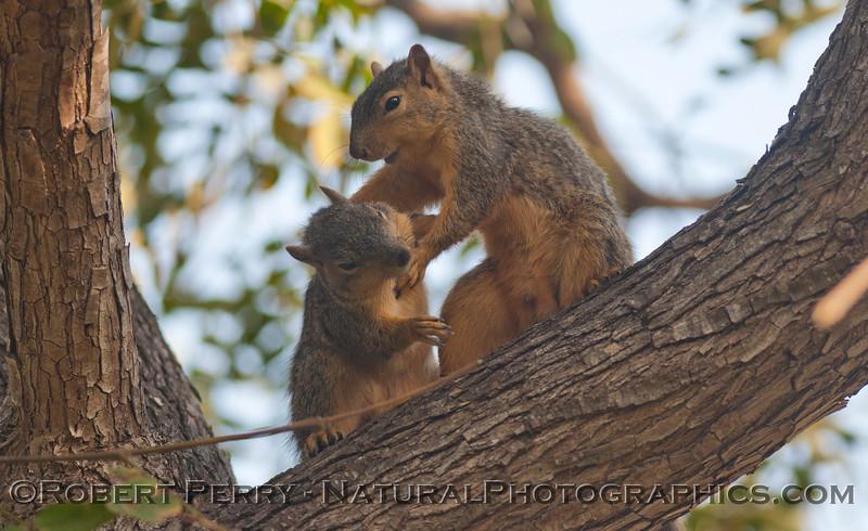 Sciurus mating squirrels 2012 03-11 Camarillo-005