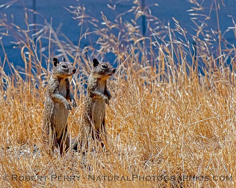 Otospermophilus beecheyi Ground squirrels 2020 08-02 Tracy--015