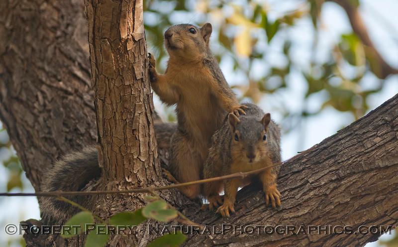Sciurus mating squirrels 2012 03-11 Camarillo-007