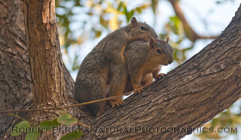 Sciurus mating squirrels 2012 03-11 Camarillo-002