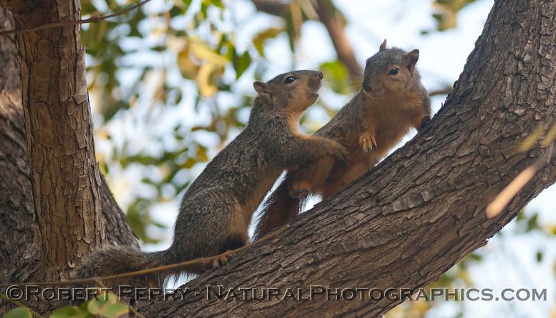 Sciurus mating squirrels 2012 03-11 Camarillo-001