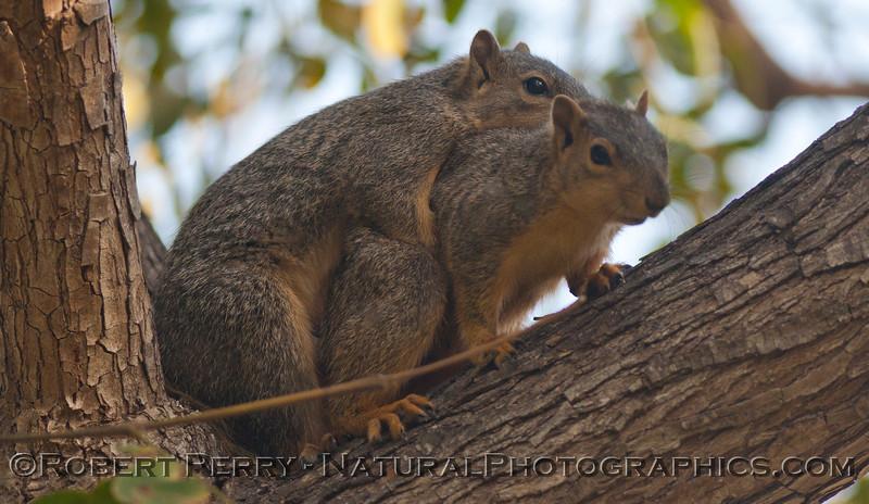 Sciurus mating squirrels 2012 03-11 Camarillo-003