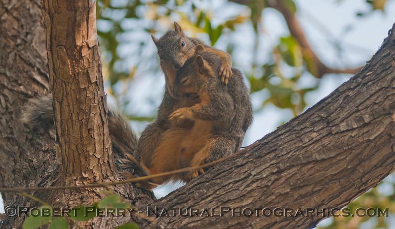 Sciurus mating squirrels 2012 03-11 Camarillo-011