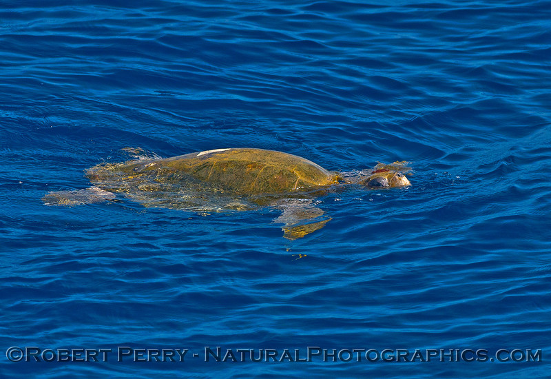 Lepidochelys olivacea Olive Riddley Sea Turtle on surface 2015 09-25 SB Channel-041