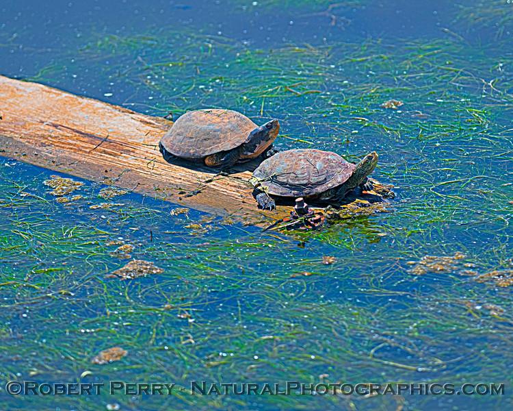 Actinemys pallida Southwestern pond turtle 2021 05-15 Grizzly Island--001