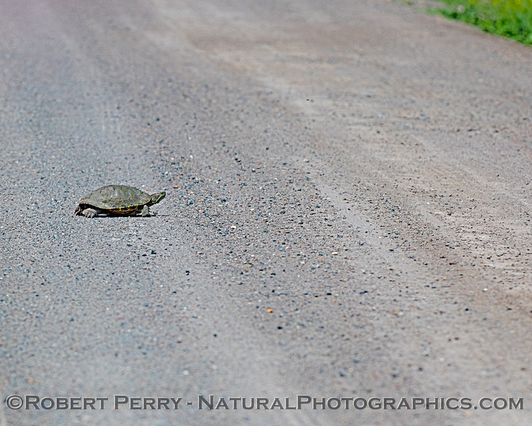 Trachemys scripta elegans Red-eared Slider on dirt road 2019 05-24 Gray Lodge--008