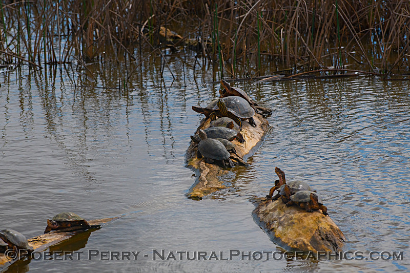 Chrysemys picta bellii Western painted turtles 2019 03-10 Sac NWR--001