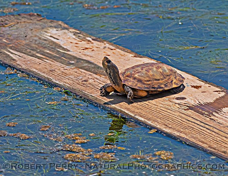 Actinemys pallida Southwestern pond turtle 2021 05-15 Grizzly Island--019