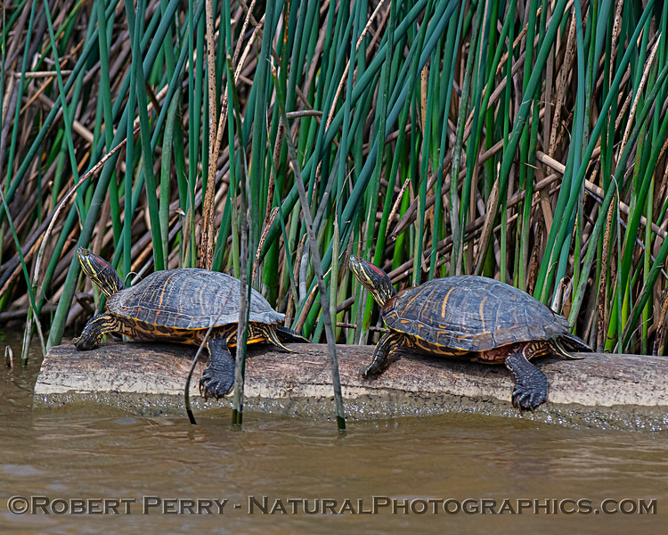 Trachemys scripta elegans TWO Red-eared slider turtles 2019 04-07 Sac NWR--002