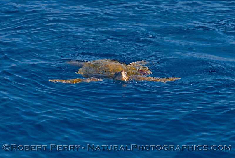 Lepidochelys olivacea Olive Riddley Sea Turtle on surface 2015 09-25 SB Channel-060