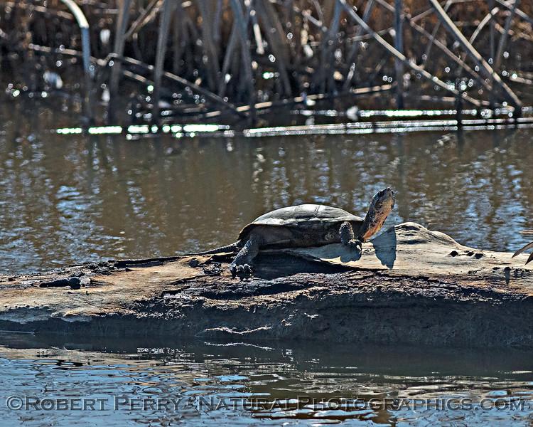 Actinemys marmorata Western pond turtle 2019 10-30 Sac NWR--002