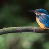 Kingfisher in Biesbosch