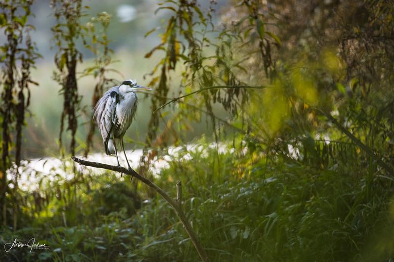Grey Heron in Biesbosch