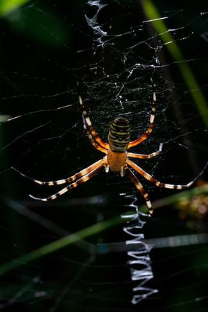 Hvepseedderkop, Wasp spider, Knepp, England