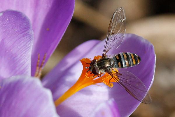 Dobbeltbåndet svirreflue, Marmelade fly (Episyrphus balteatus), Skivum Krat, Denmark