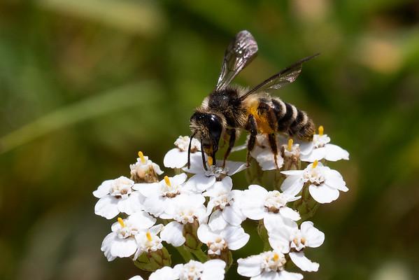 Tandet jordbi, Grey-banded Mining bee (Andrena denticulata), Skivum Krat