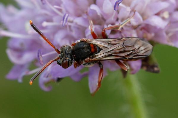 Blåhat-hvepsebi. En sjælden, internationalt rødlistet bi, der indtil for nylig fandtes ét sted på lokaliteten. Lokaliteten blev i august 2019 oppløjet af Danmarks Naturfond ved en fejl.