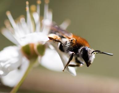 Rødhalet jordbi, Orange-tailed mining-bee (Andrena haemorrhoa), Skivum krat, Denmark