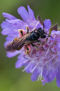 Blåhat-jordbi, Large Scabious Mining-bee,   (Andrena hattorfiana), Skivum Krat, Denmark