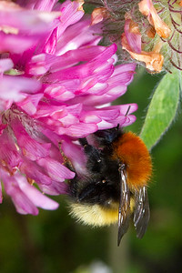 Moshumle, agricolae, Moss Carder-bee (Bombus muscorum), North Uist, De Ydre Hebrider, Outer Hebrides