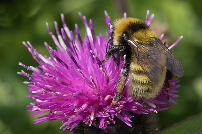Kløverhumle, Great Yellow Bumblebee, Bombus distinguendas), North Uist, De ydre Hebrider, Outer Hebrides