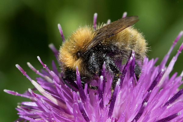 Moshumle, sladeni, Moss Carder-bee (Bombus muscorum), North Uist, De Ydre Hebrider, Outer Hebrides