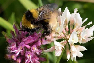 Hedehumle, Heath Bumblebee (Bombus jonellus), North Uist, De Ydre Hebrider, Outer Hebrides
