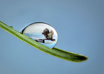 Puffin in a droplet