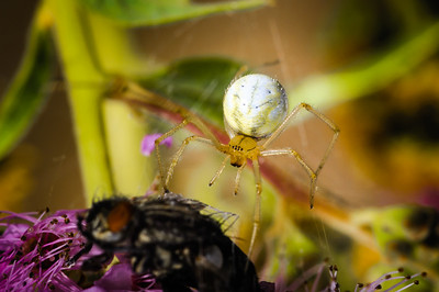 Green-Orb-Weaver-Spider-002