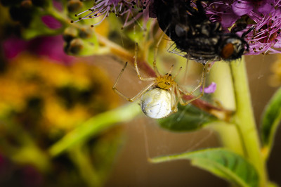 Green-Orb-Weaver-Spider-001