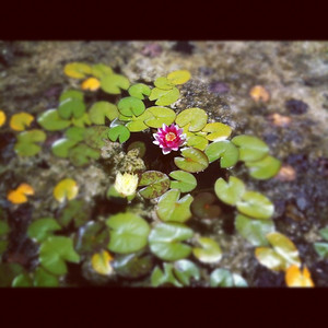Lotus pond: Waterwise Nursery