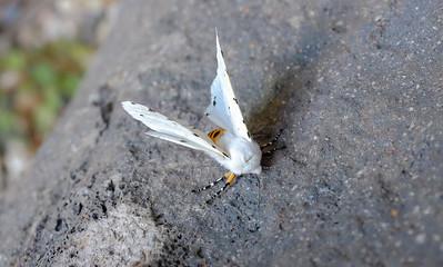 Snowy White moth 1