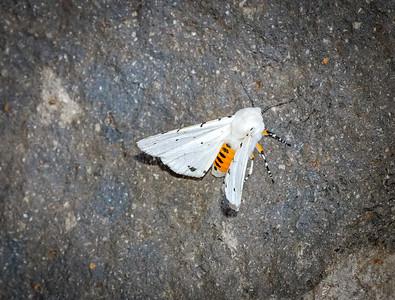 Snowy White moth 2