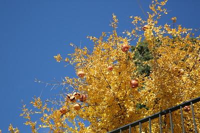 Pomegranate tree, Granada - 18/11/18