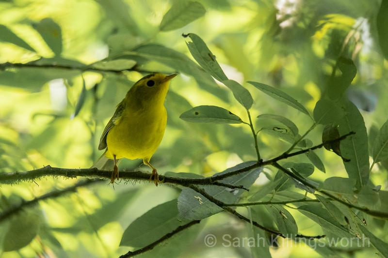 warbler sunshine