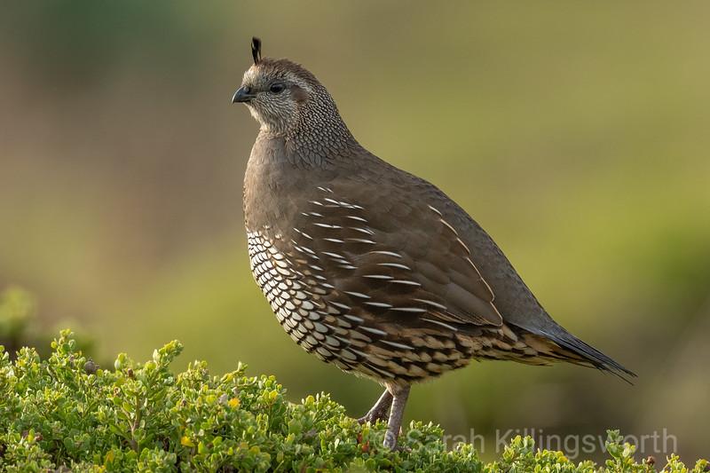 quail at sunrise