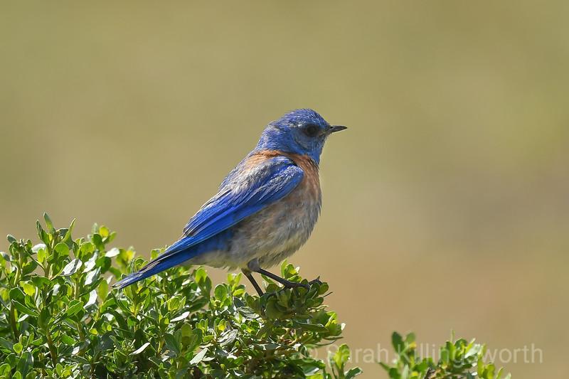 bluebird in profile
