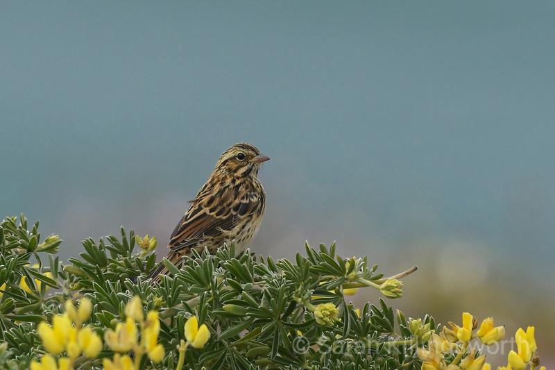 lupine sparrow