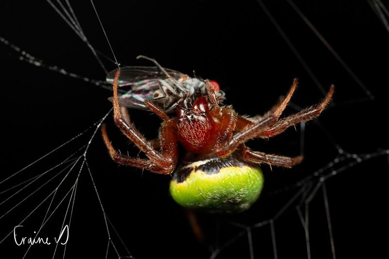 Green pea spider (Araneus apricus) with prey.
